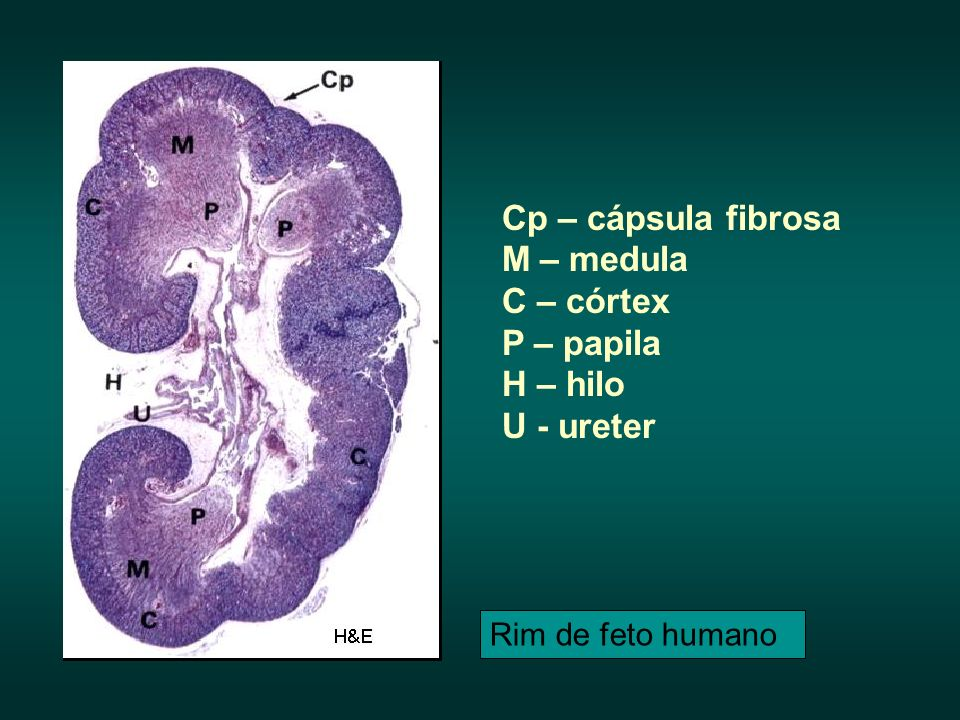 Cp – cápsula fibrosa M – medula C – córtex P – papila H – hilo