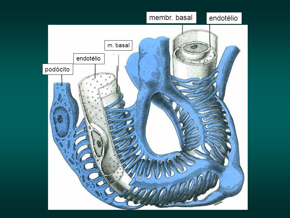 endotélio membr. basal podócito m. basal