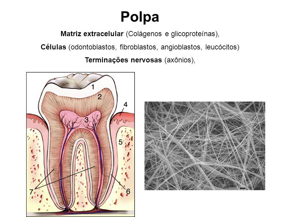 Polpa Matriz extracelular (Colágenos e glicoproteínas),