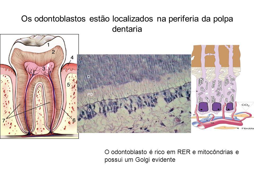 Os odontoblastos estão localizados na periferia da polpa dentaria