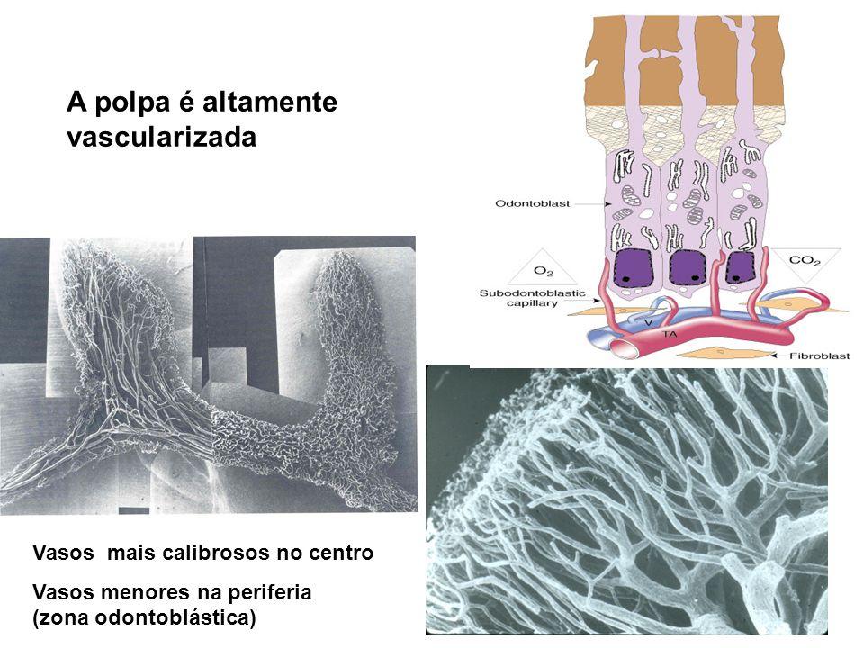 A polpa é altamente vascularizada