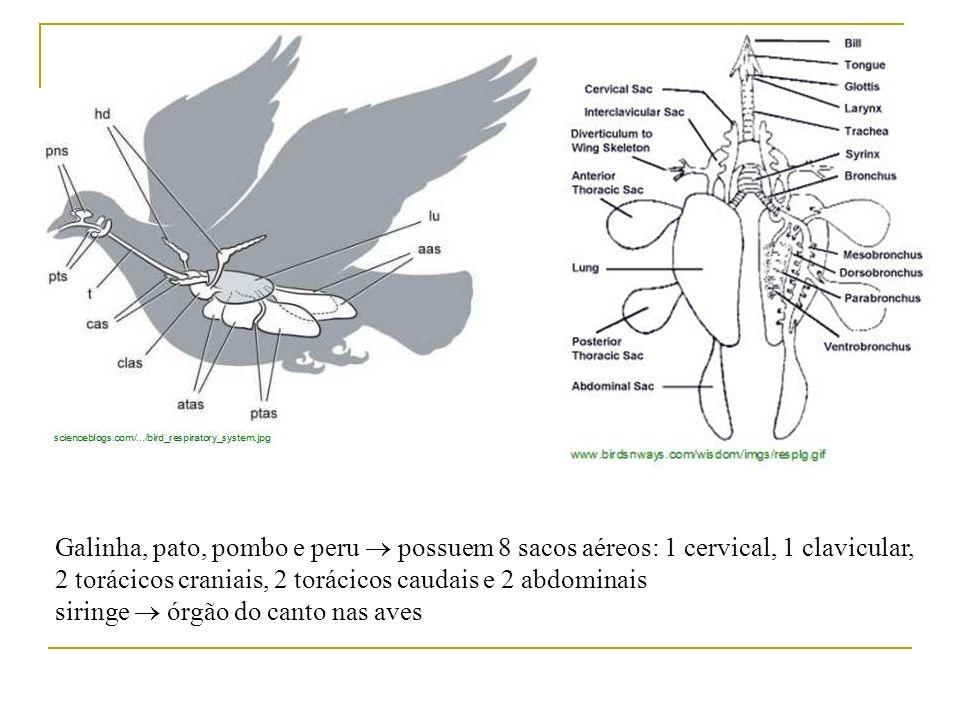 Galinha, pato, pombo e peru  possuem 8 sacos aéreos: 1 cervical, 1 clavicular, 2 torácicos craniais, 2 torácicos caudais e 2 abdominais