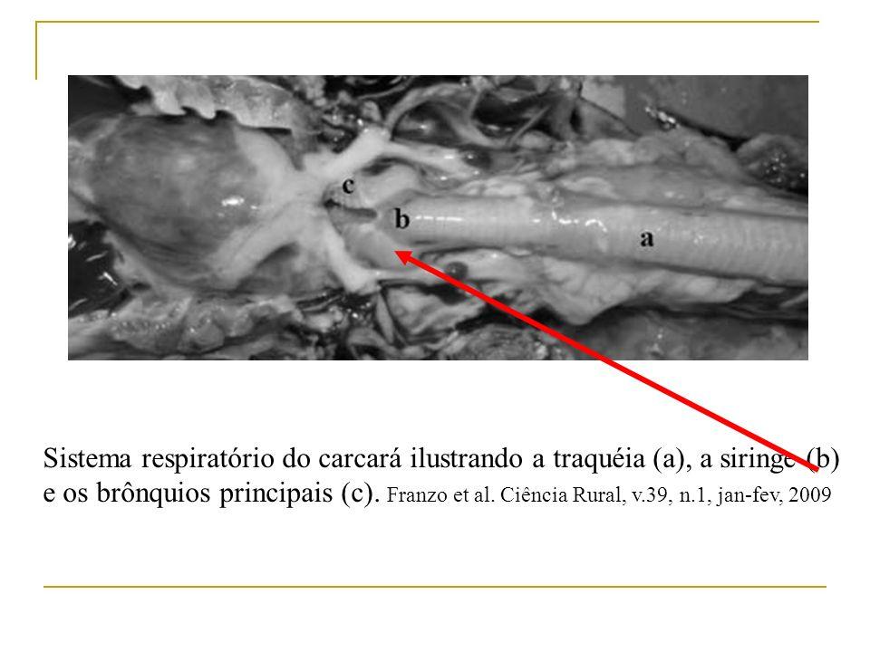 Sistema respiratório do carcará ilustrando a traquéia (a), a siringe (b) e os brônquios principais (c).