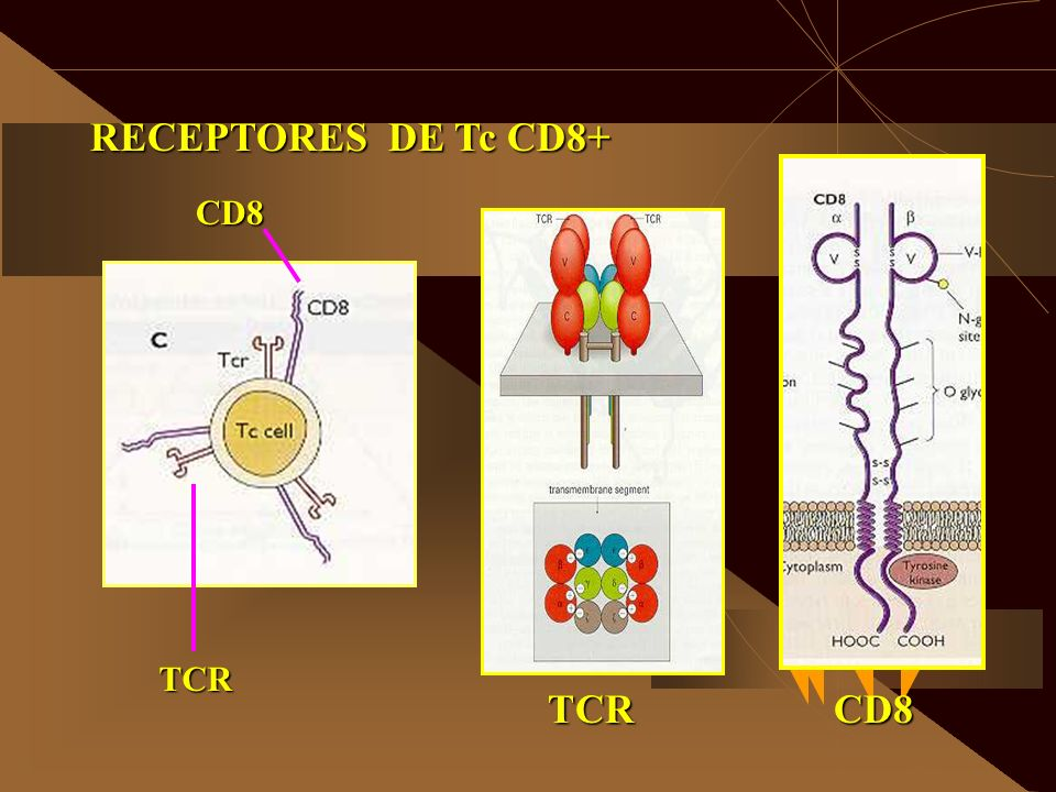 RECEPTORES DE Tc CD8+ CD8 TCR TCR CD8