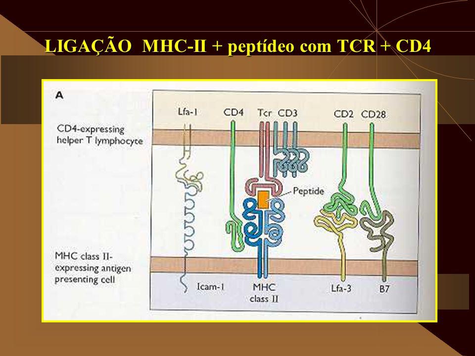 LIGAÇÃO MHC-II + peptídeo com TCR + CD4