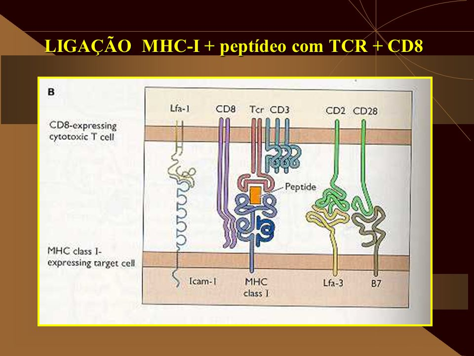 LIGAÇÃO MHC-I + peptídeo com TCR + CD8