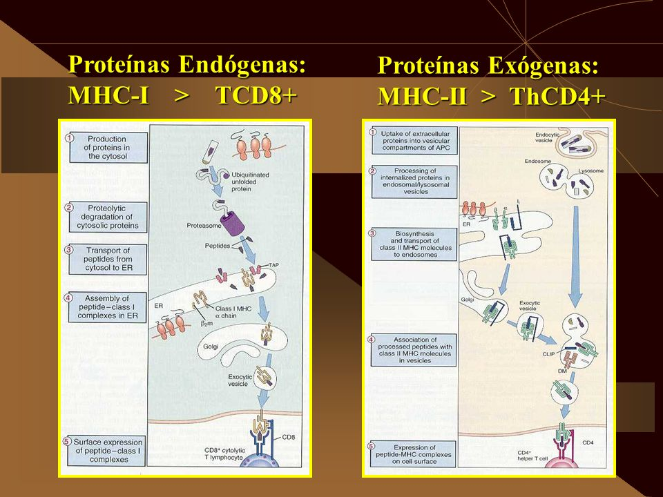 Proteínas Endógenas: MHC-I > TCD8+ Proteínas Exógenas: MHC-II > ThCD4+