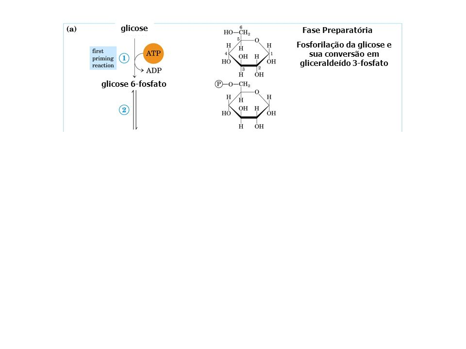 Fosforilação da glicose e sua conversão em gliceraldeído 3-fosfato