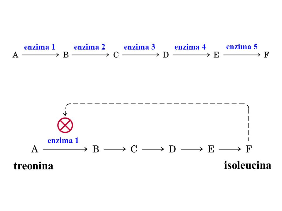 treonina isoleucina enzima 1 enzima 2 enzima 3 enzima 4 enzima 5