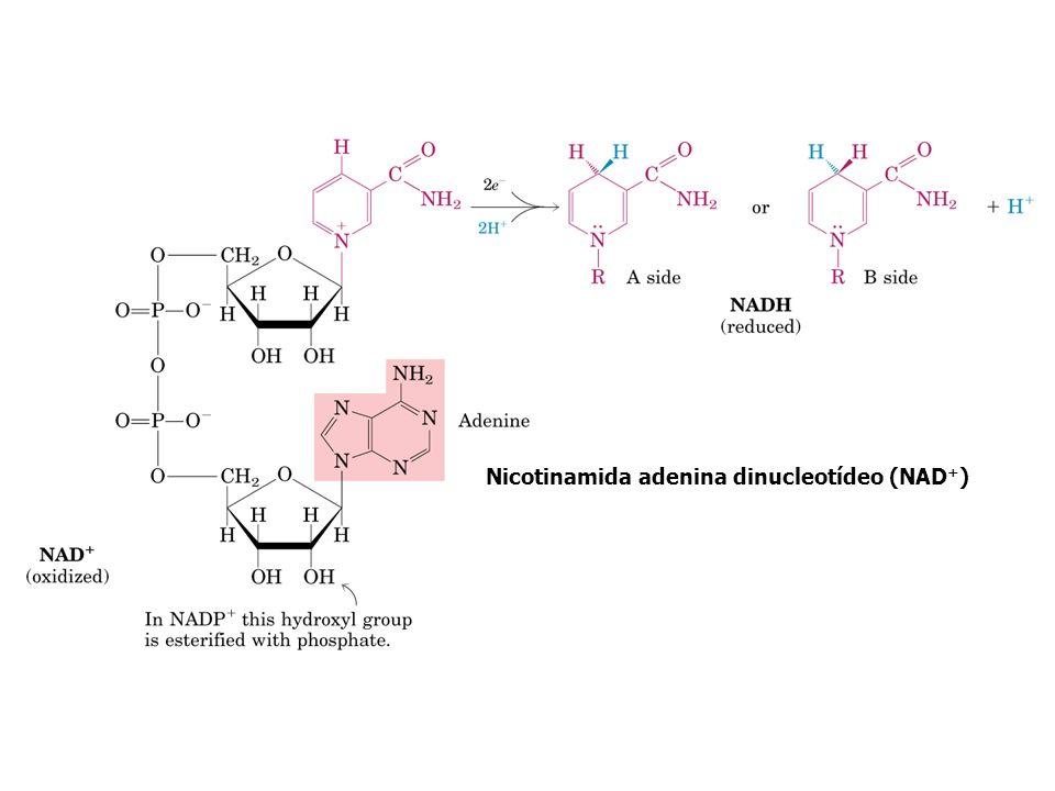 Nicotinamida adenina dinucleotídeo (NAD+)