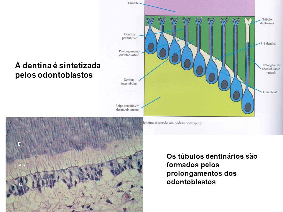 A dentina é sintetizada pelos odontoblastos