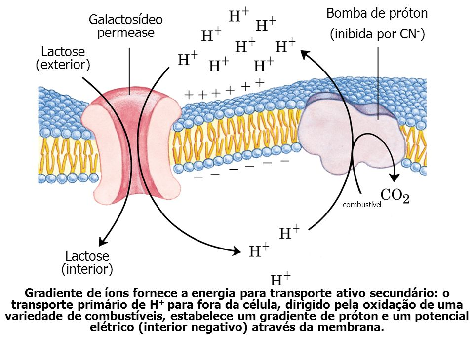 Galactosídeo permease