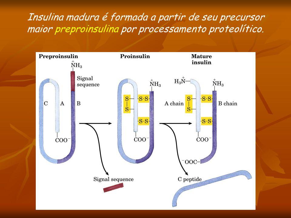 Insulina madura é formada a partir de seu precursor maior preproinsulina por processamento proteolítico.