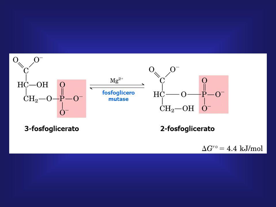 3-fosfoglicerato 2-fosfoglicerato