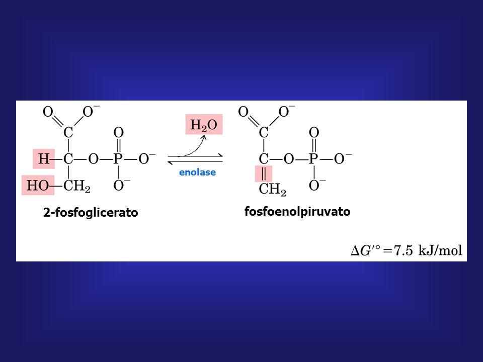 2-fosfoglicerato fosfoenolpiruvato