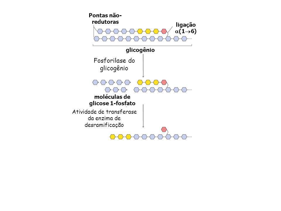 moléculas de glicose 1-fosfato