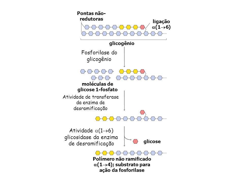 Fosforilase do glicogênio
