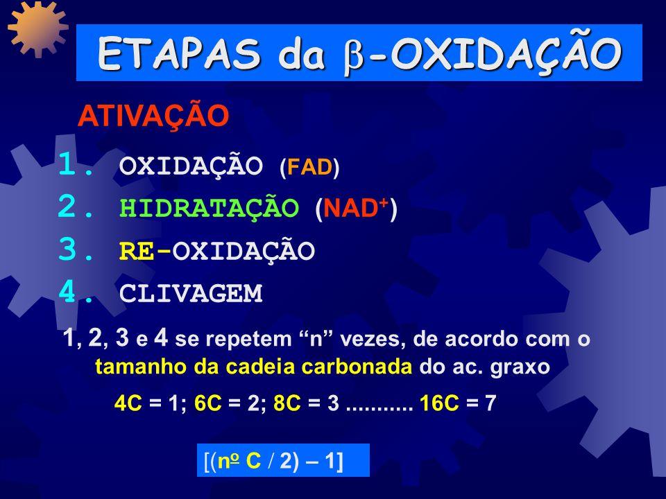 ETAPAS da -OXIDAÇÃO ATIVAÇÃO OXIDAÇÃO (FAD) HIDRATAÇÃO (NAD+)