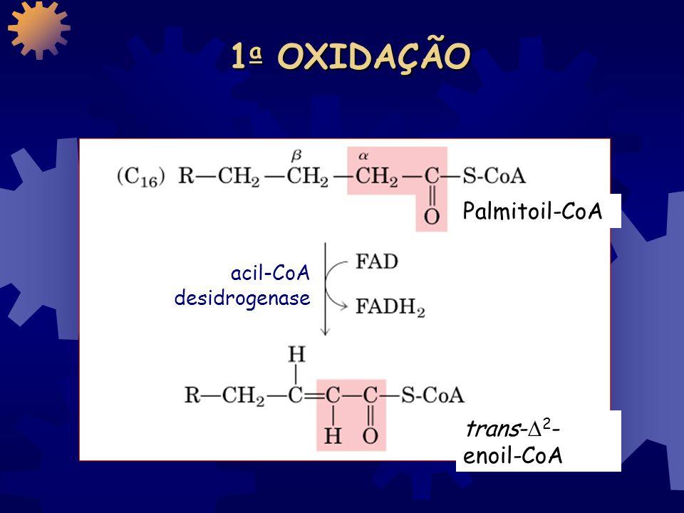 1a OXIDAÇÃO Palmitoil-CoA acil-CoA desidrogenase trans-2-enoil-CoA