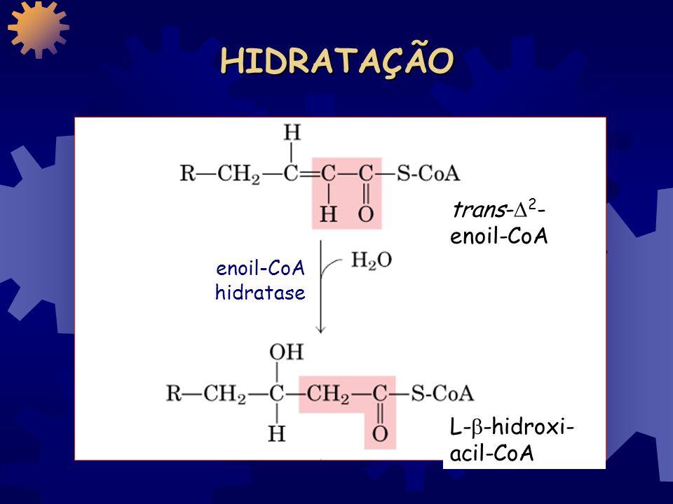 HIDRATAÇÃO trans-2-enoil-CoA enoil-CoA hidratase L--hidroxi-acil-CoA
