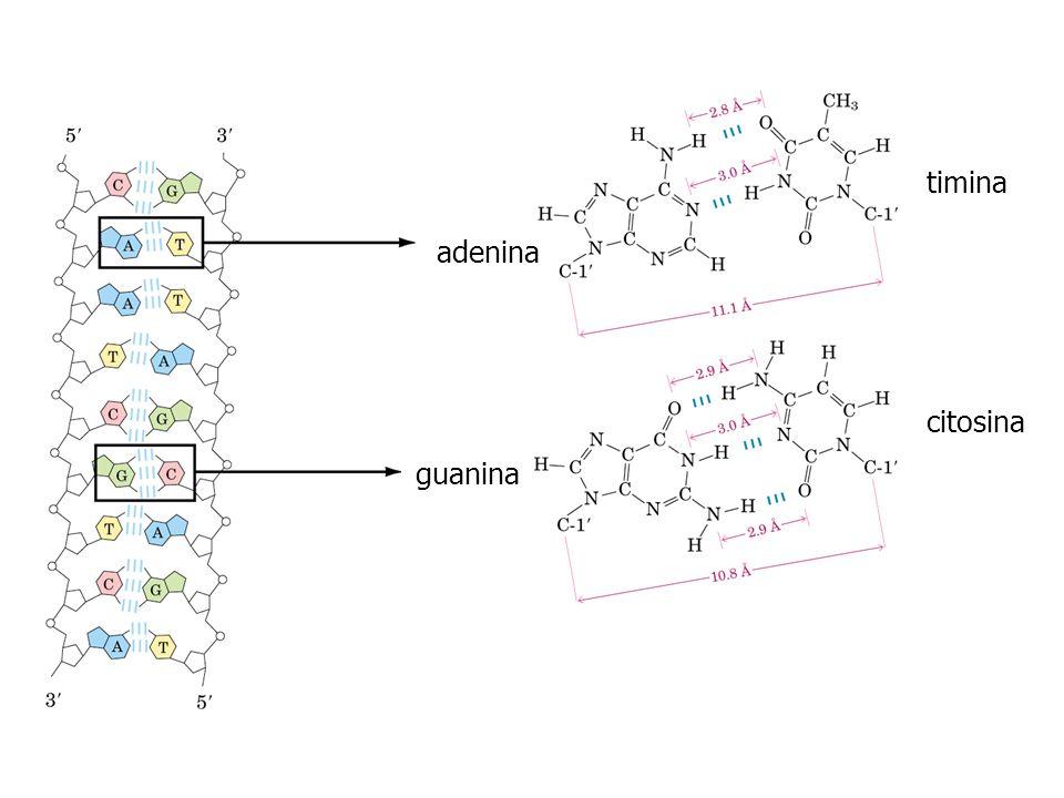 timina adenina citosina guanina