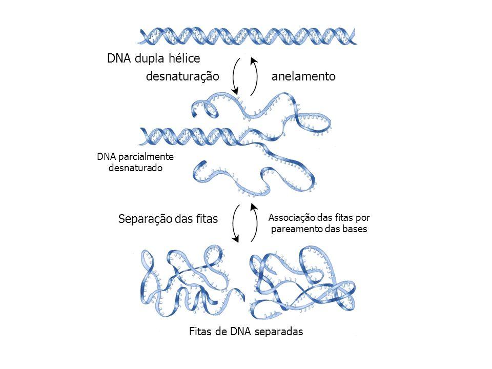 DNA dupla hélice desnaturação anelamento Separação das fitas