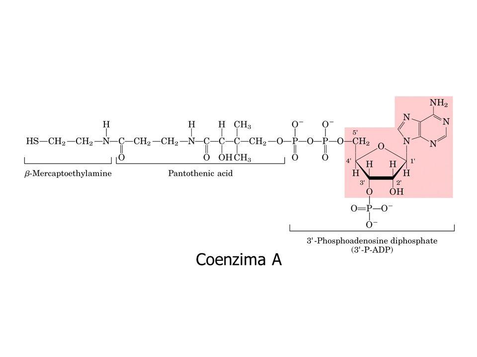 Coenzima A