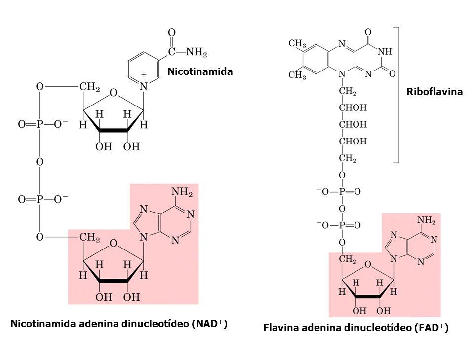 Nicotinamida Riboflavina.