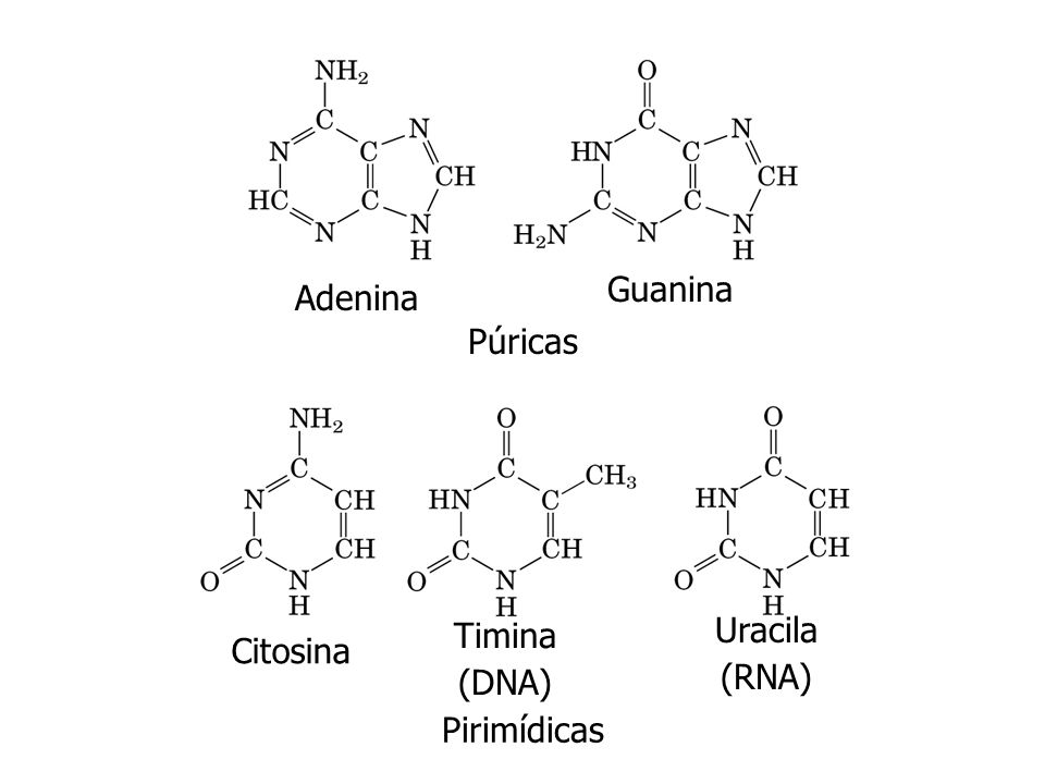 Guanina Adenina Púricas Citosina Timina (DNA) Uracila (RNA) Pirimídicas