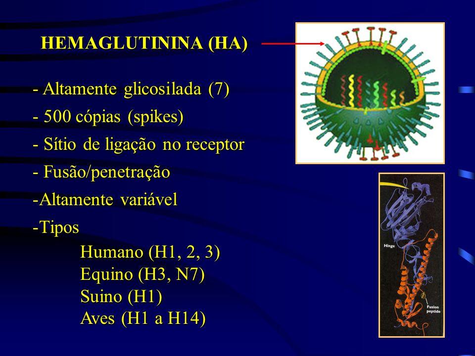 HEMAGLUTININA (HA) - Altamente glicosilada (7) - 500 cópias (spikes) - Sítio de ligação no receptor.