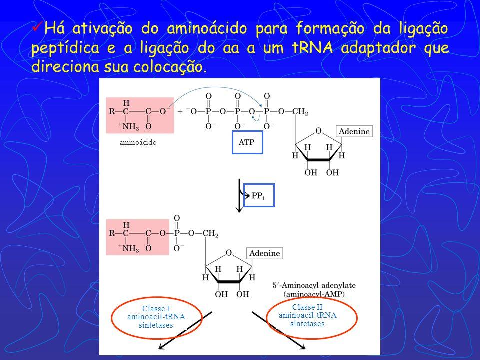 Há ativação do aminoácido para formação da ligação peptídica e a ligação do aa a um tRNA adaptador que direciona sua colocação.