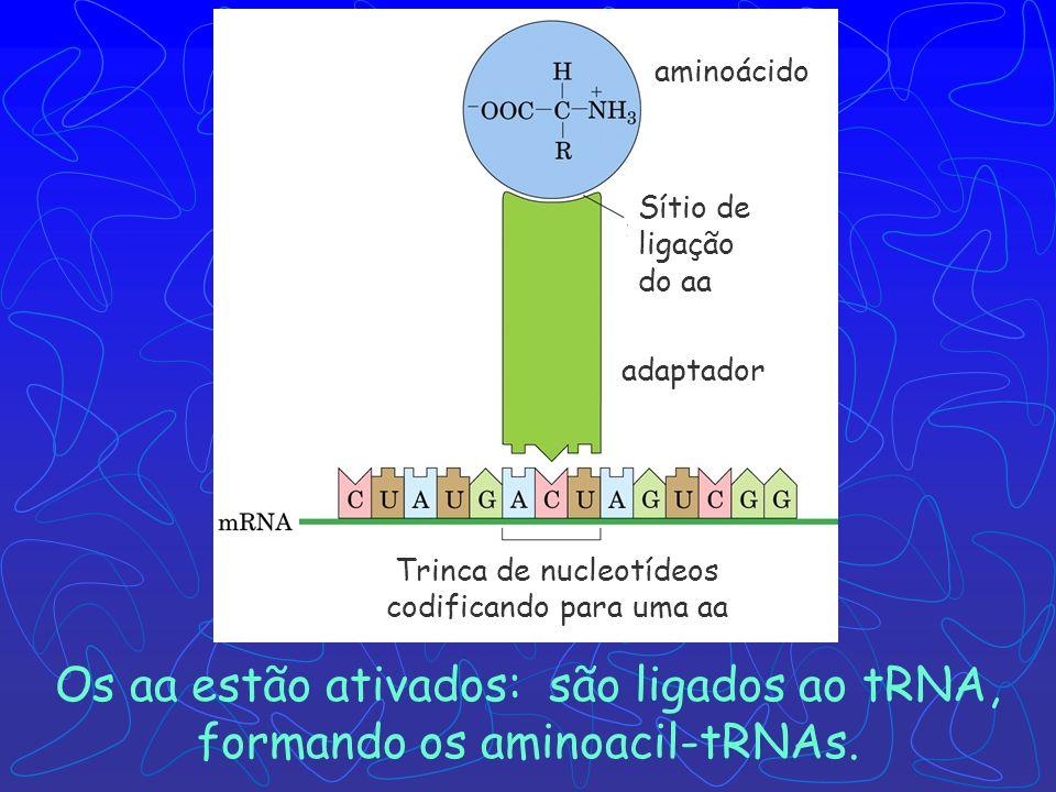 Trinca de nucleotídeos codificando para uma aa
