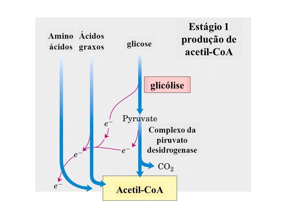 Estágio 1 produção de acetil-CoA Complexo da piruvato desidrogenase