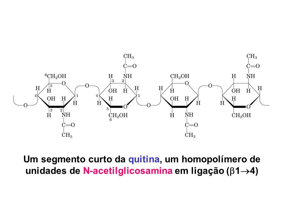 Um segmento curto da quitina, um homopolímero de unidades de N-acetilglicosamina em ligação (14)
