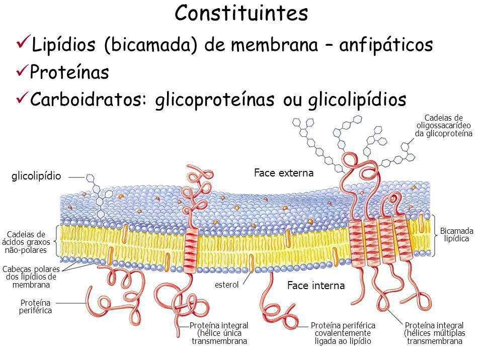 Lipídios (bicamada) de membrana – anfipáticos