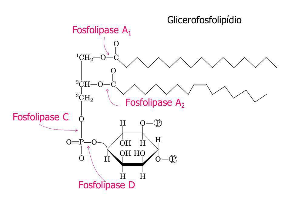 Glicerofosfolipídio Fosfolipase A1 Fosfolipase A2 Fosfolipase C Fosfolipase D