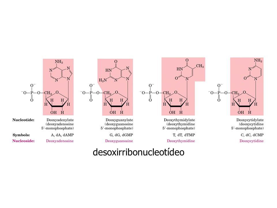 desoxirribonucleotídeo