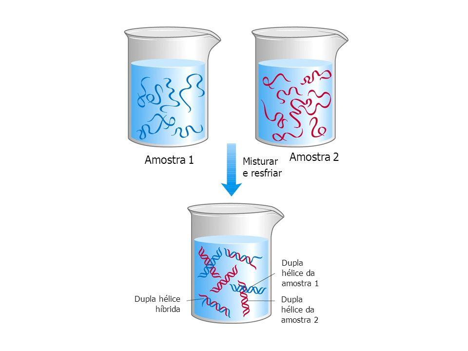 Amostra 2 Amostra 1 Misturar e resfriar Dupla hélice da amostra 1