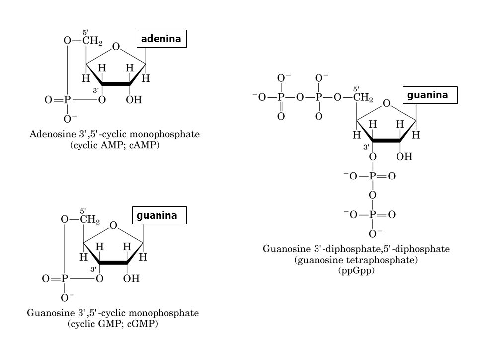 adenina guanina guanina