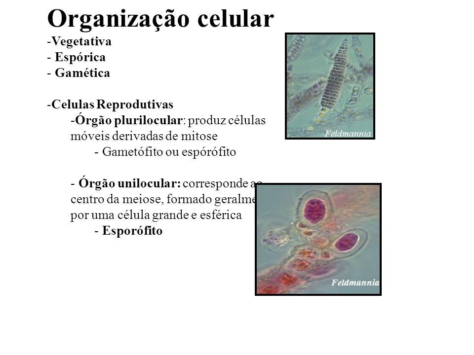 Organização celular Vegetativa Espórica Gamética Celulas Reprodutivas