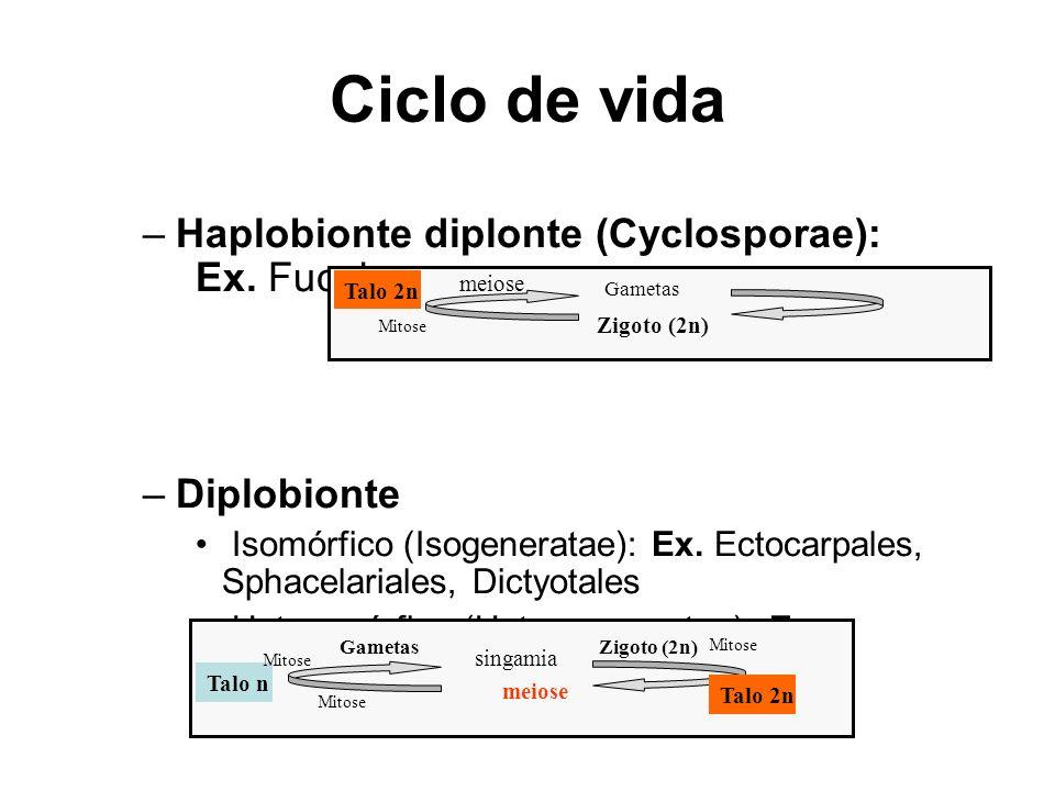 Ciclo de vida Haplobionte diplonte (Cyclosporae): Ex. Fucales