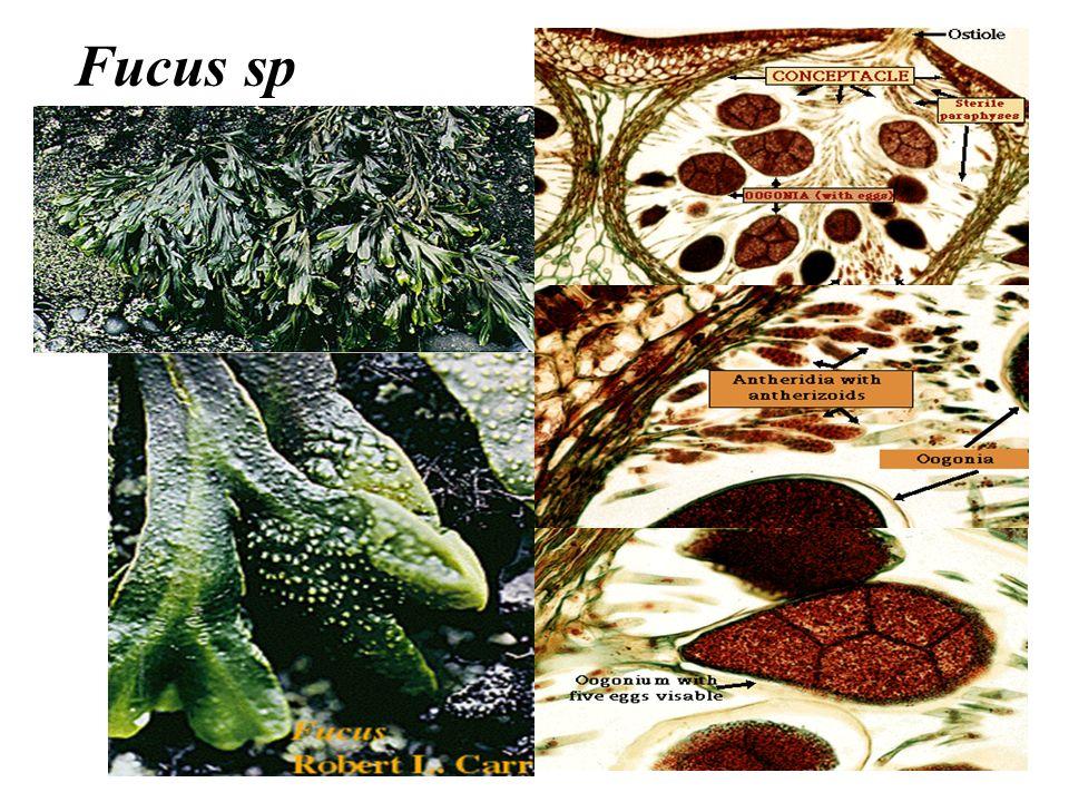 Fucus sp