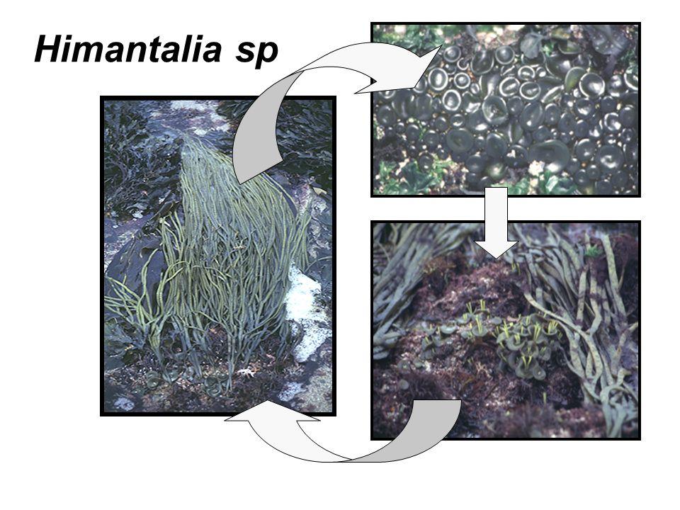 Himantalia sp