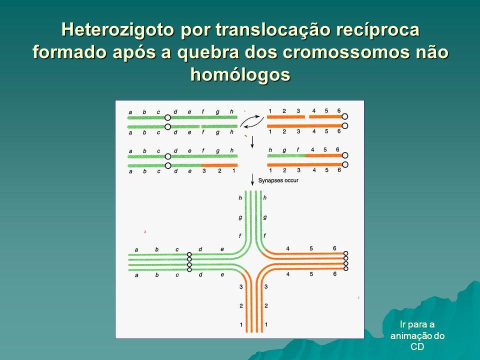 Heterozigoto por translocação recíproca formado após a quebra dos cromossomos não homólogos
