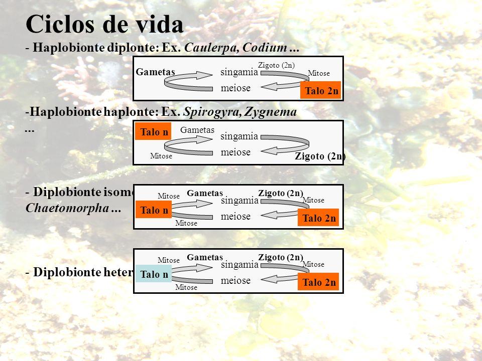 Ciclos de vida - Haplobionte diplonte: Ex. Caulerpa, Codium ...