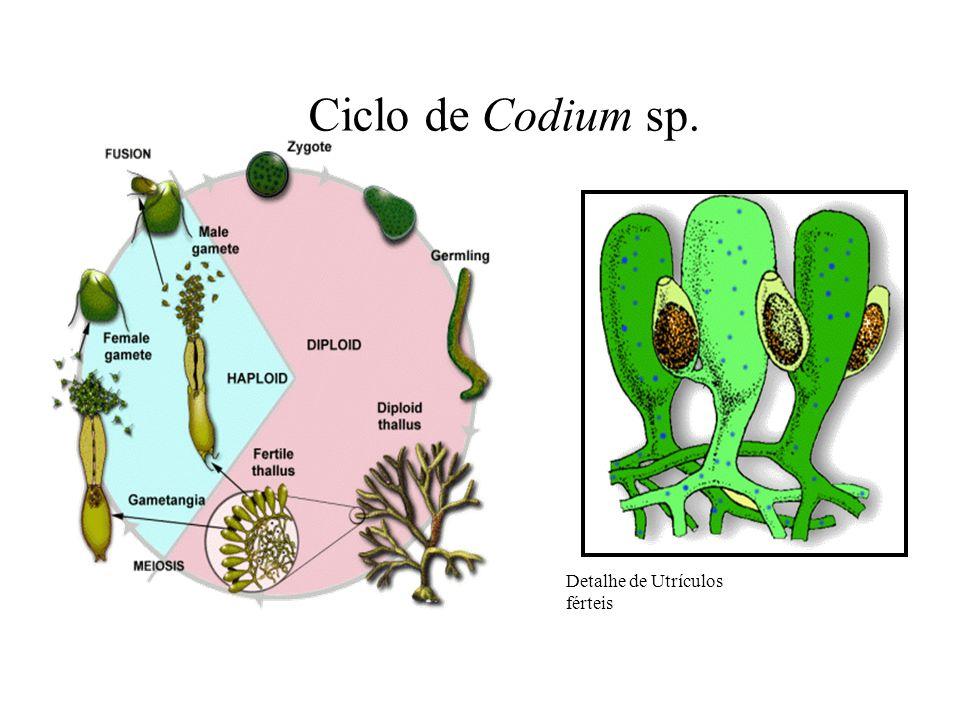 Ciclo de Codium sp. Detalhe de Utrículos férteis