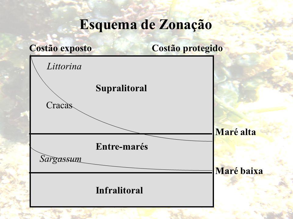 Esquema de Zonação Maré baixa Maré alta Costão exposto