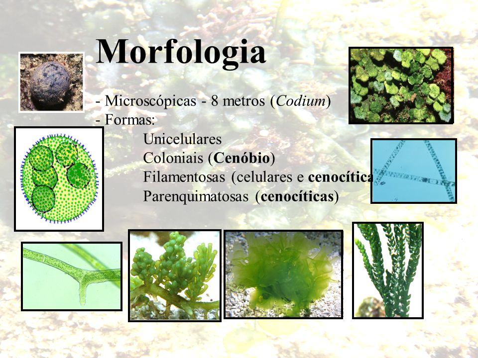 Morfologia - Microscópicas - 8 metros (Codium) - Formas: Unicelulares