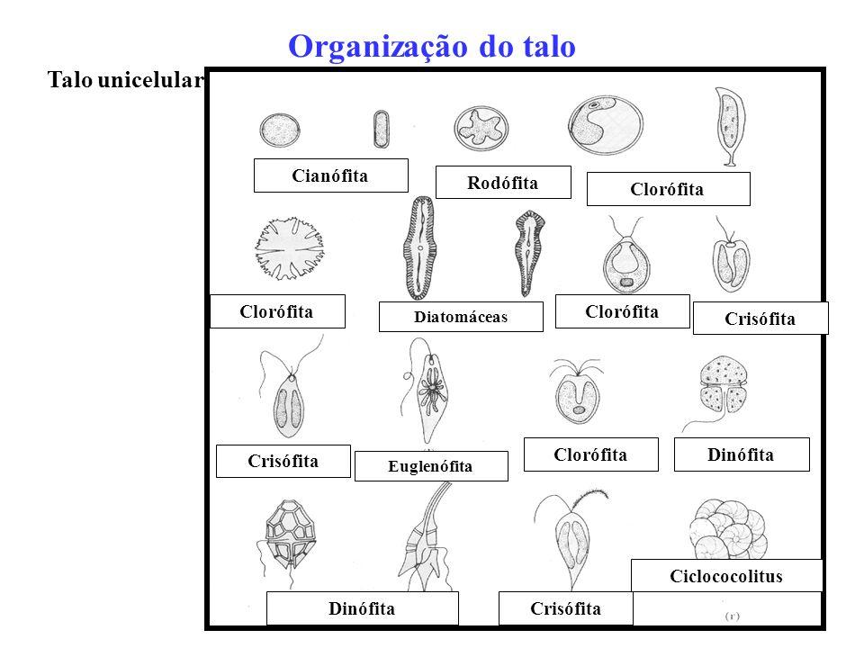 Organização do talo Talo unicelular Cianófita Rodófita Clorófita