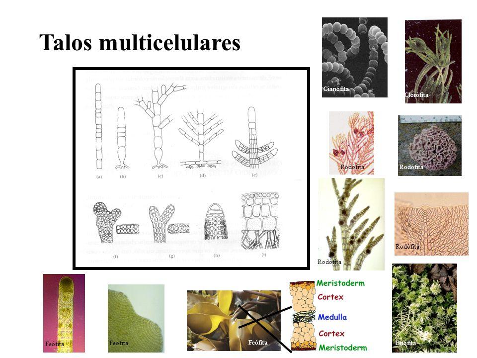Talos multicelulares Cianófita Clorófita Rodófita Rodófita Rodófita
